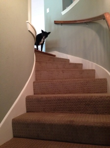 This is a picture of my black lab mix, Lucy, at the top of the stairs looking frightened.