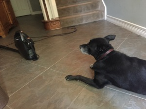 This is a photo of a dog staring at a vacuum cleaner.