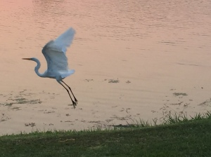 This is a picture of a swan taking flight.